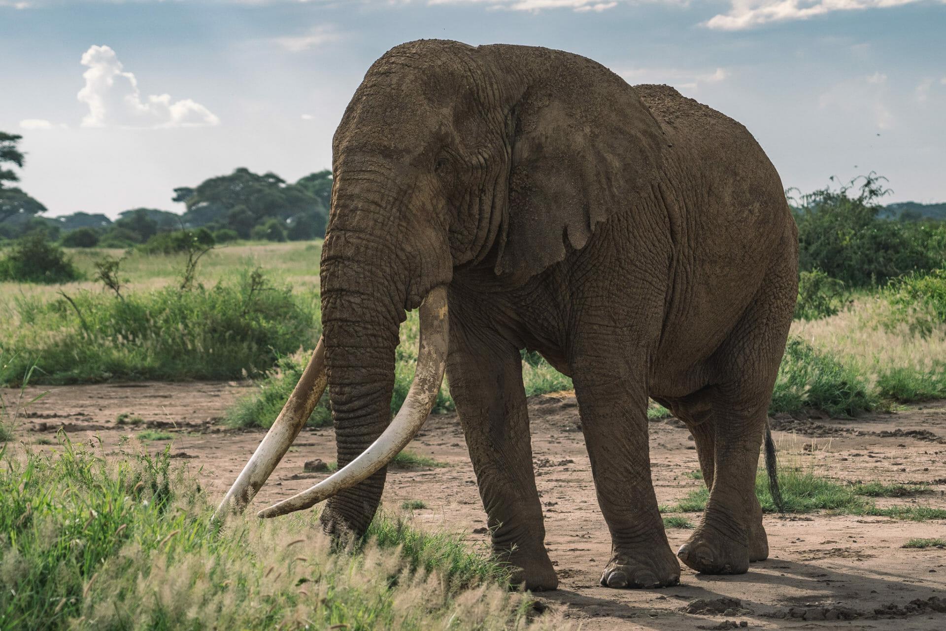 voyage-kenya-tim-elephant-amboseli