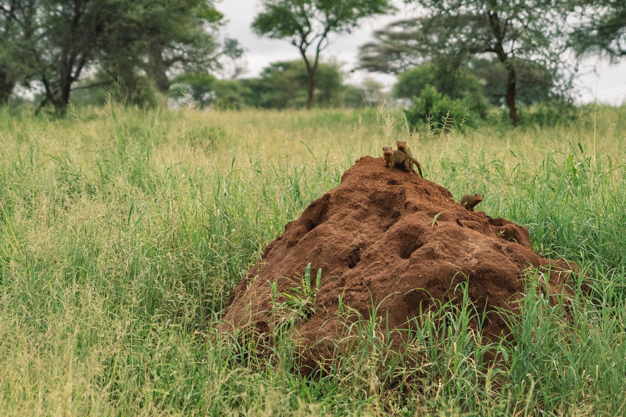 Observation des suricates dans la parc du Tarangire en Tanzanie