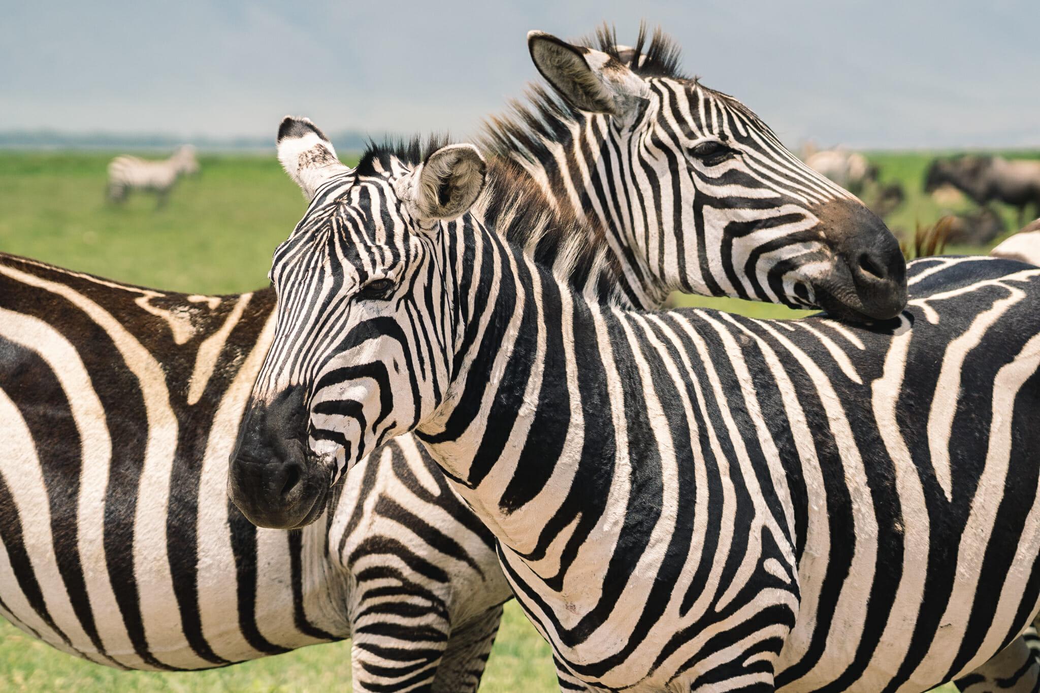 Observation d'une famille de zèbres dans le parc du Ngorongoro en Tanzanie