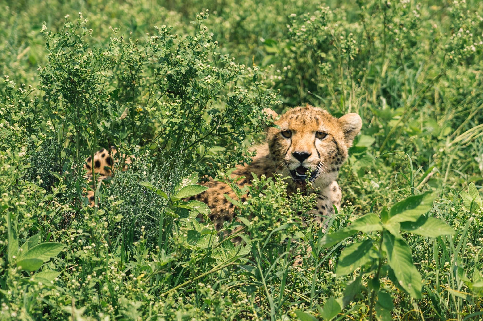 Observation d'un guépard dans le parc du Ndutu en tanzanie