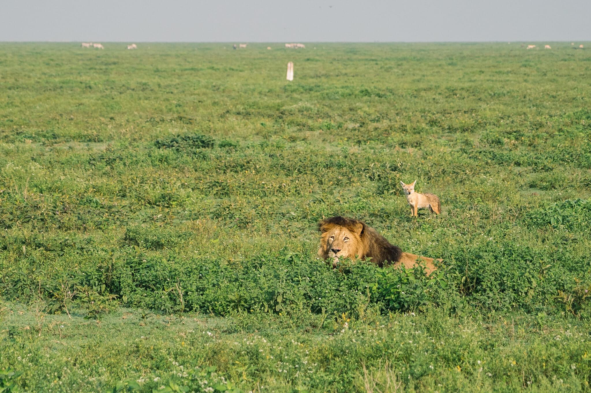 Observation d'un lion dans le parc du Ndutu en tanzanie