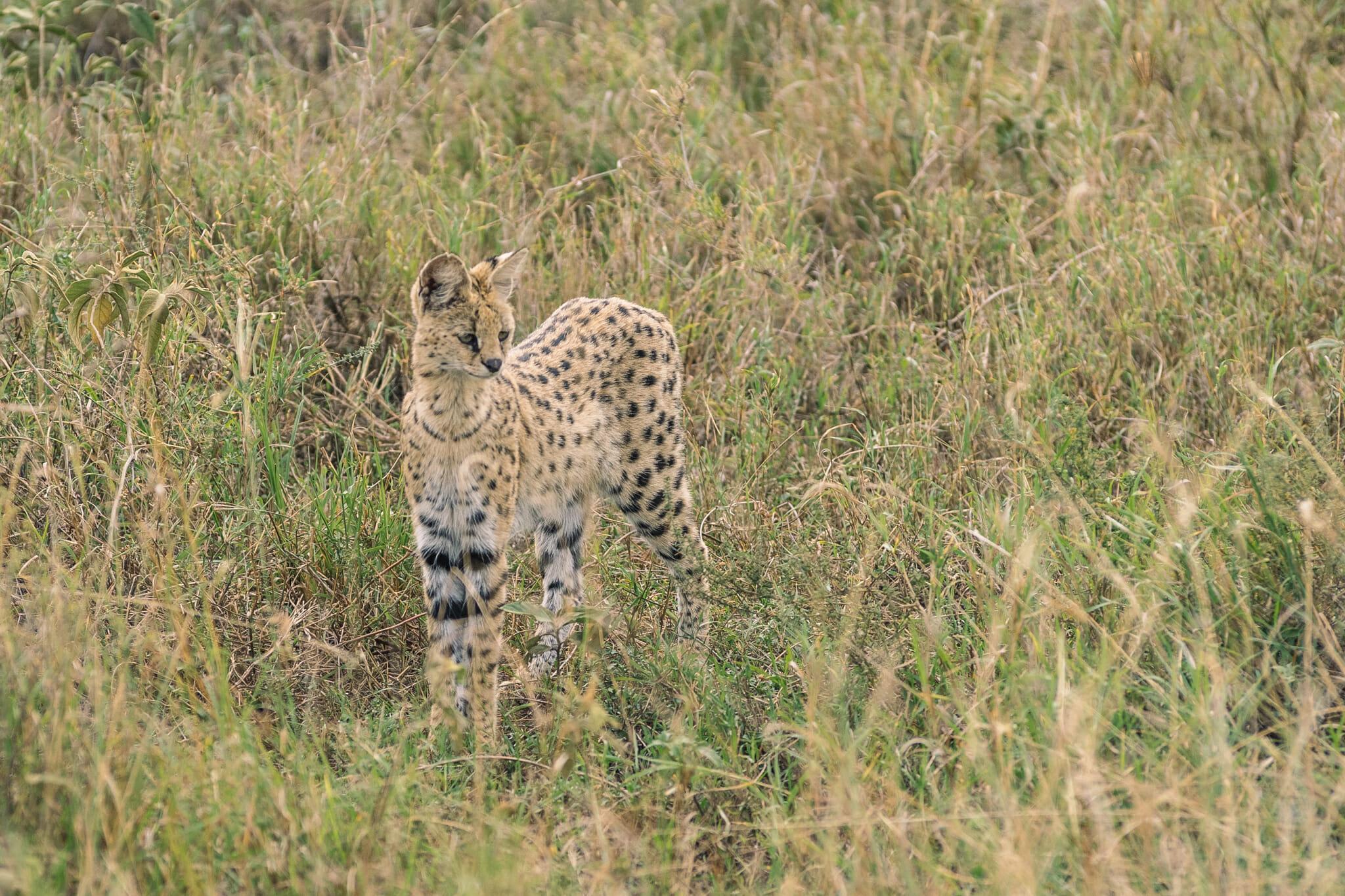 Observation d'un serval dans le Parc national du Serengeti en Tanzanie