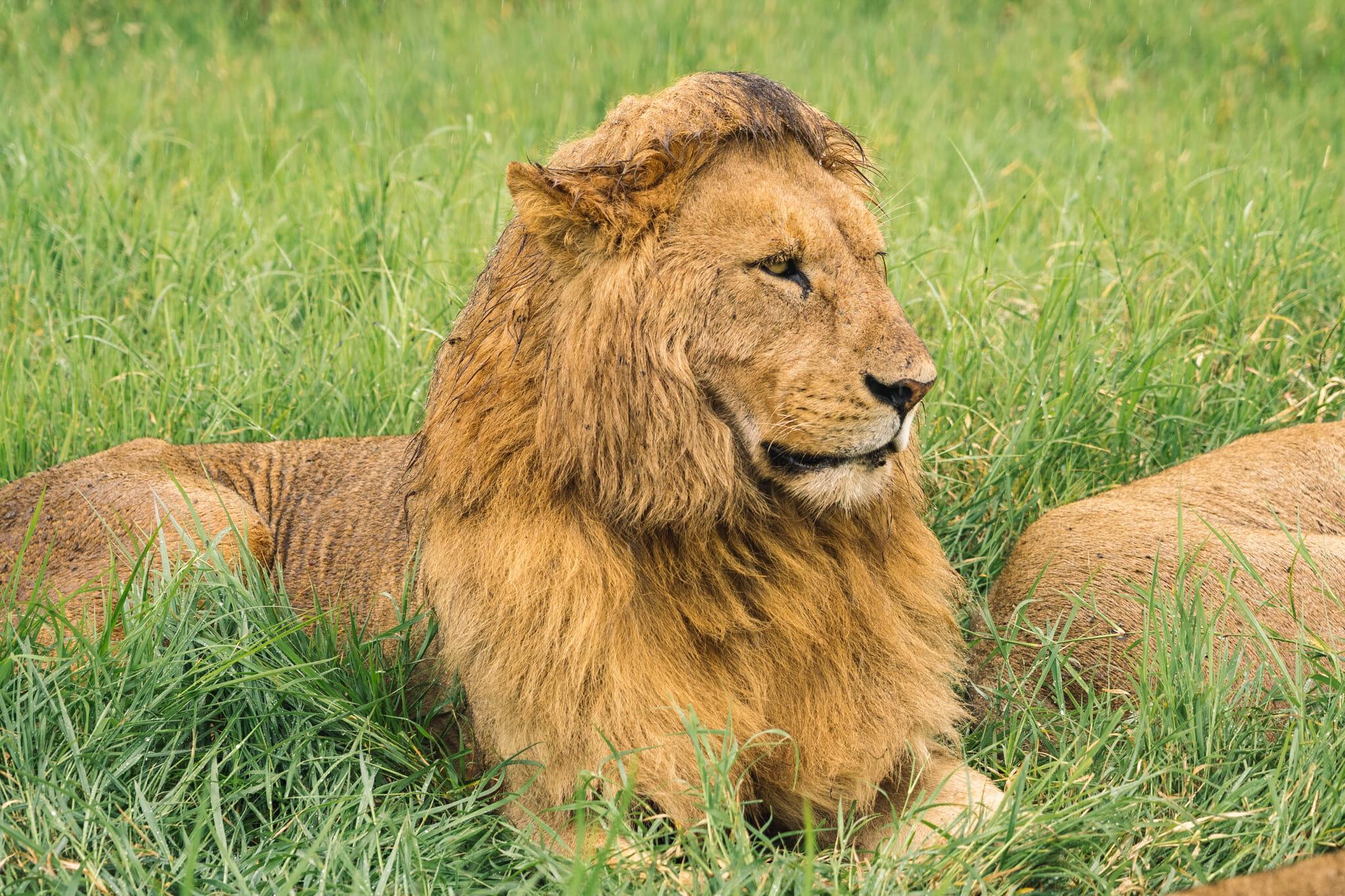 Observation d'un lion dans le parc du Ngorongoro pendant un safari en Tanzanie