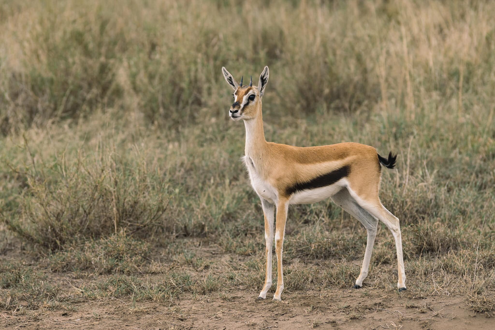 Observation d'une gazelle de thomson dans le parc national du Serengeti en Tanzanie