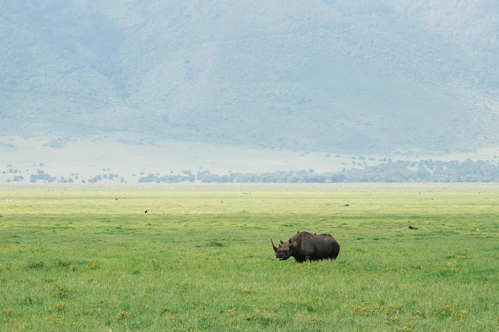 Observation du rhinocéros lors d'un safari dans le parc du Ngorongoro en Tanzanie