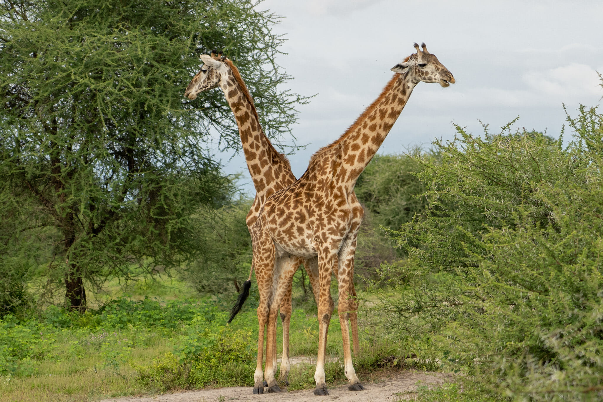 Observation de girafes dans le parc du Tarangire en Tanzanie