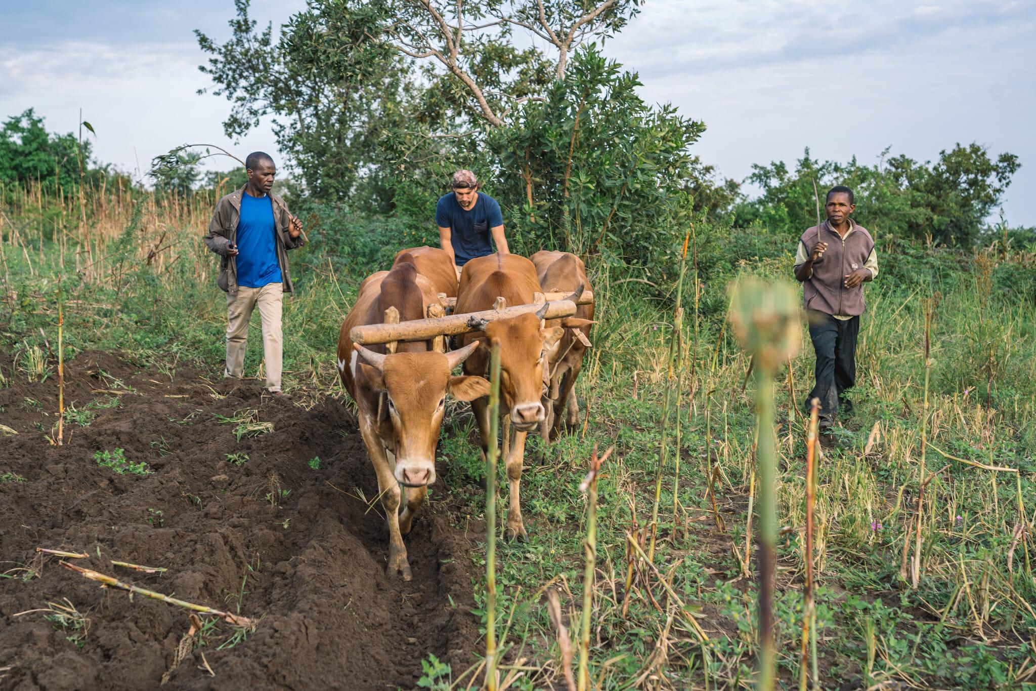 Jules en plein labourage dans les champs du village de Nyamburi en tanzanie