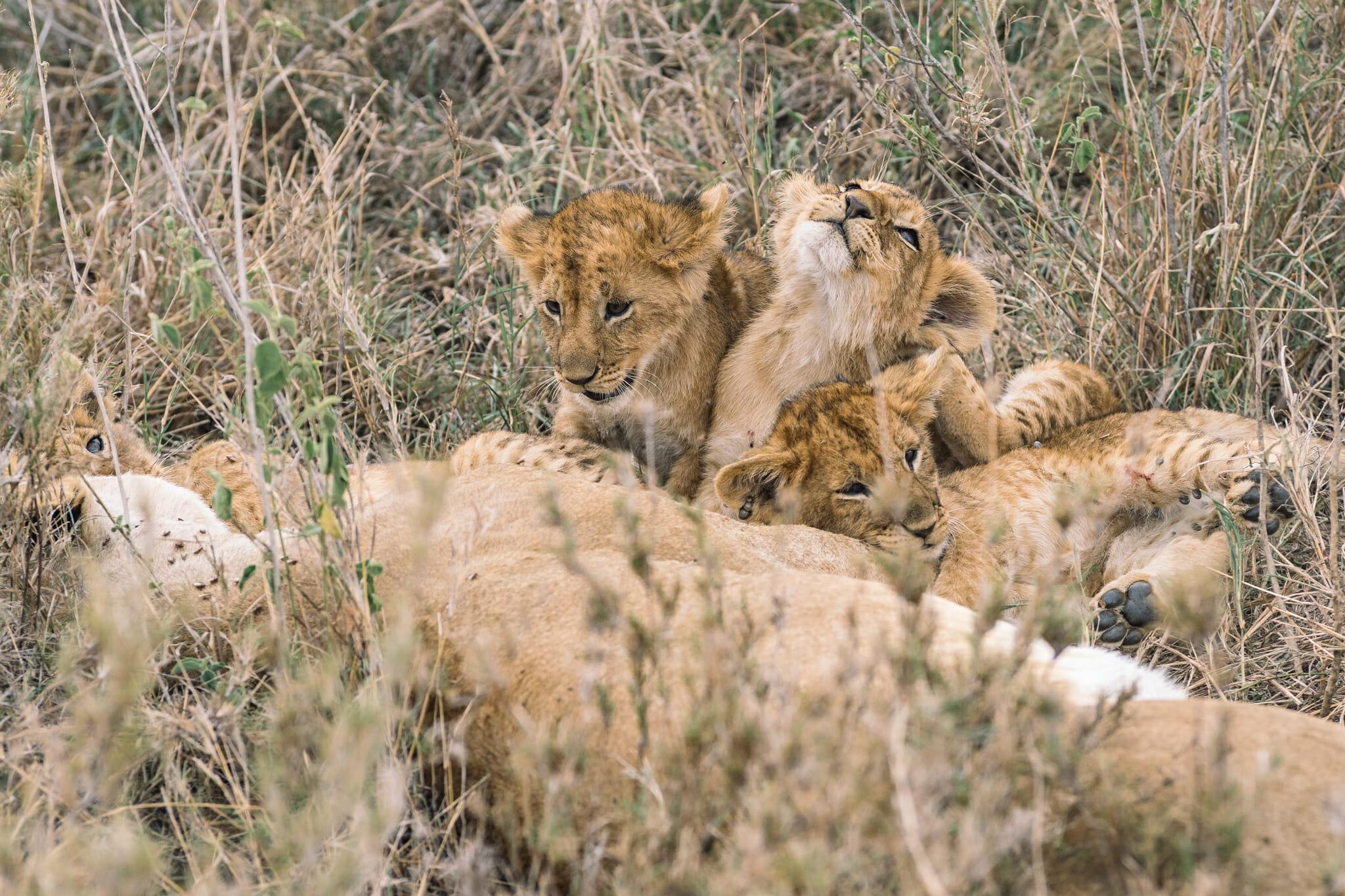 Observation de bébés lions dans le parc du Serengeti en Tanzanie