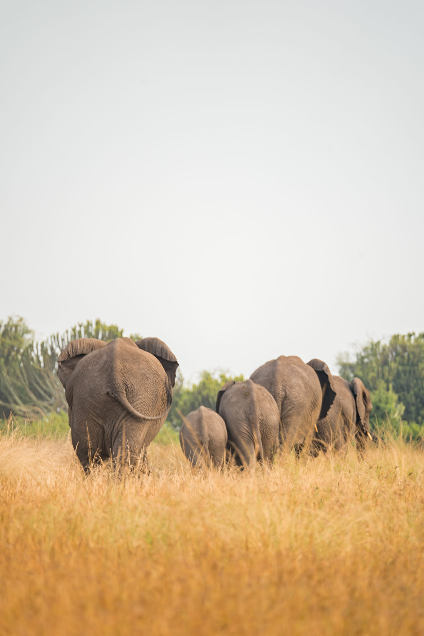 troupeau d'elephant en ouganda