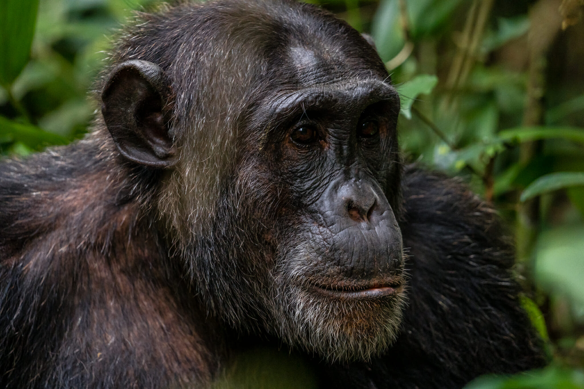 rencontre avec un echimpanze dans la foret de kibale en ouganda