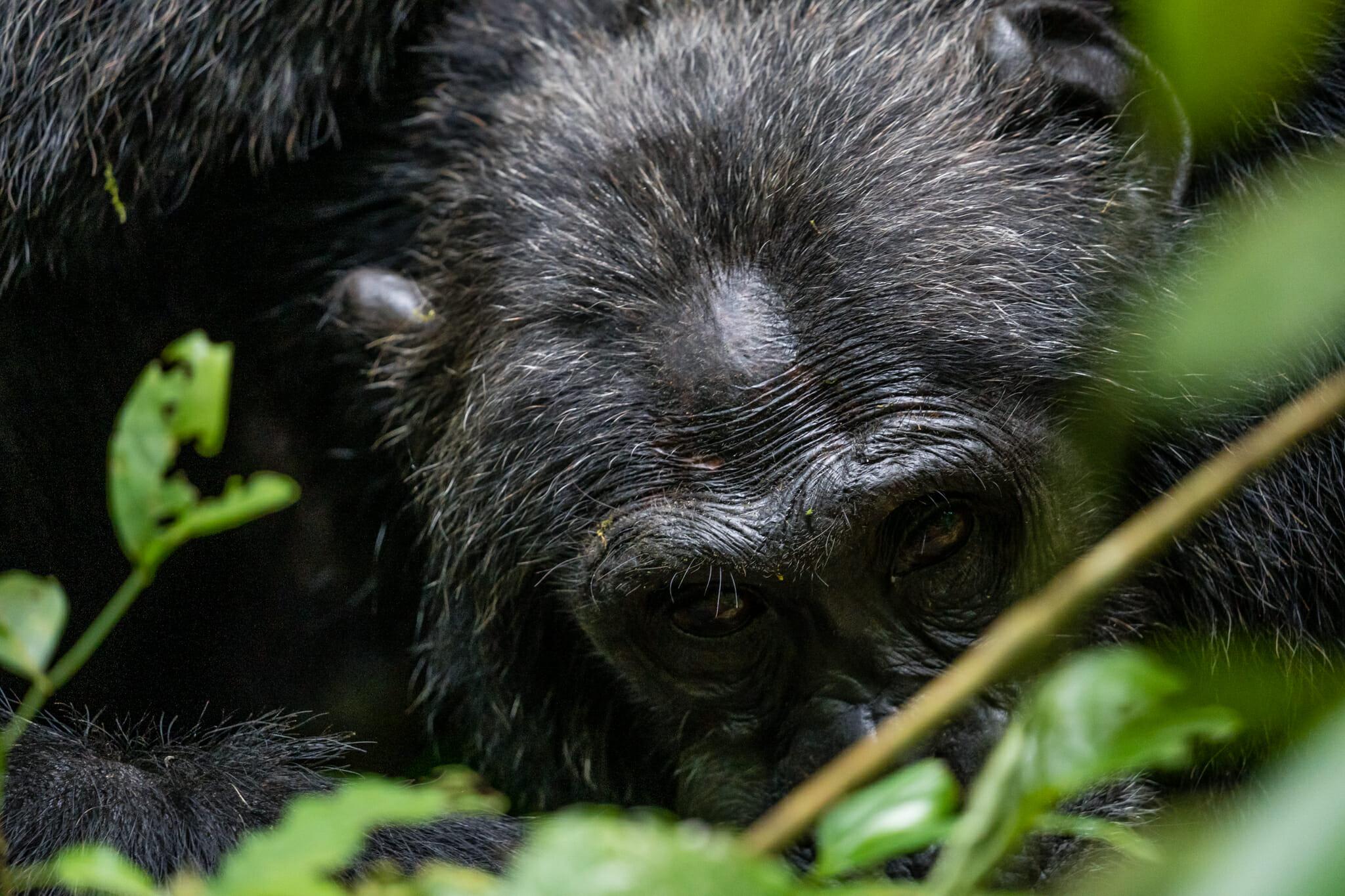 observation d'un chimpanzé dans la forêt de kibale en ouganda