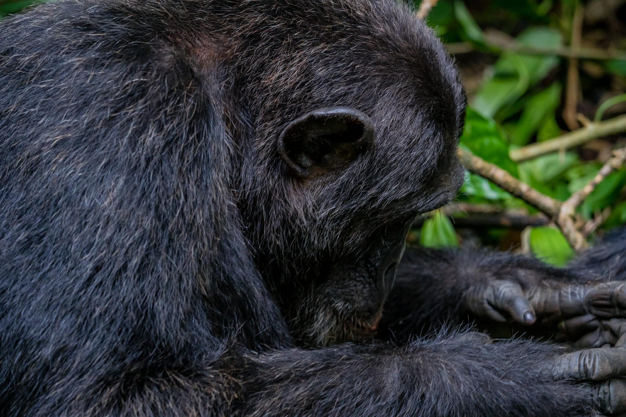rencontre avec un chimpanzé dans la foret de kibale en Ouganda