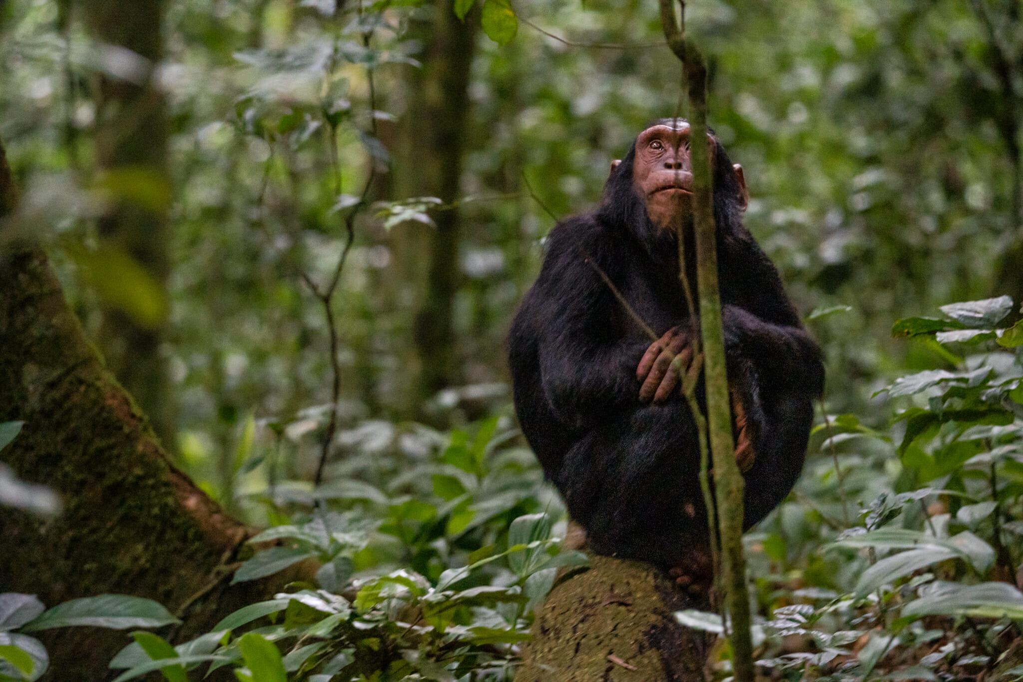 observation d'un chimpanzé dans le parc de kibale en ouganda