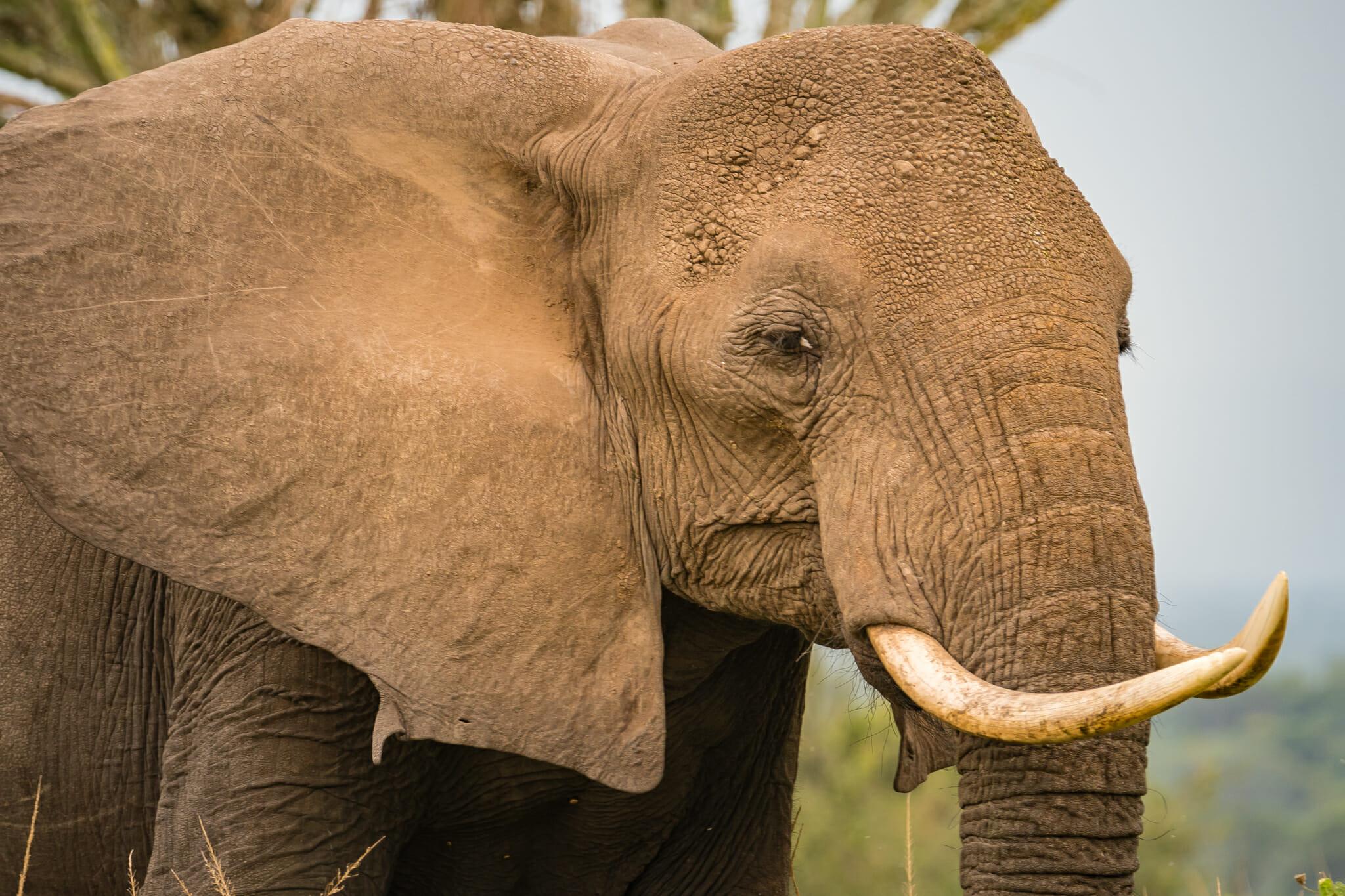 observation d'un éléphant dans le parc queen elisabeth en ouganda