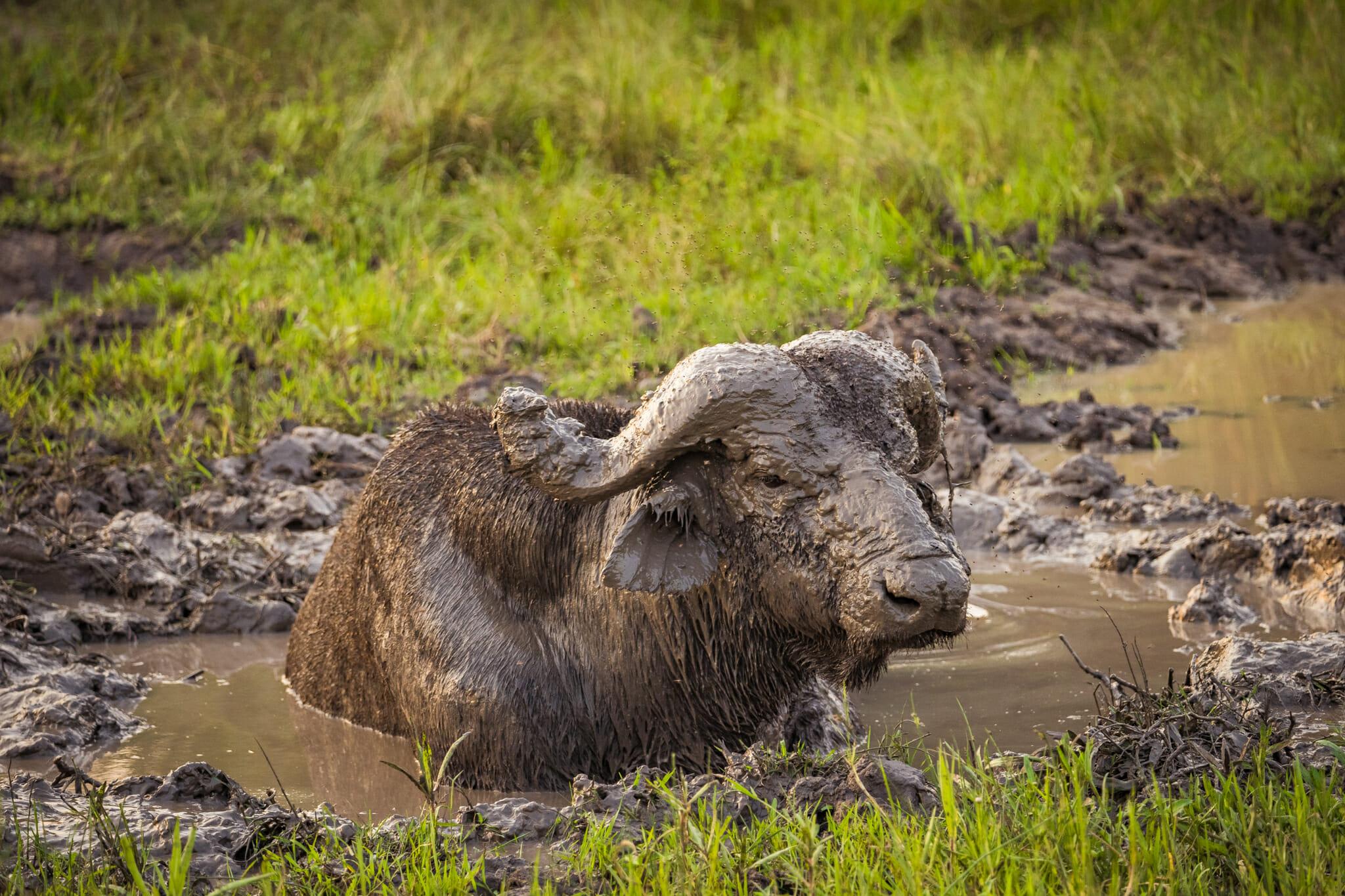 Buffalo en plein bain dans le parc du Mburo en ouganda