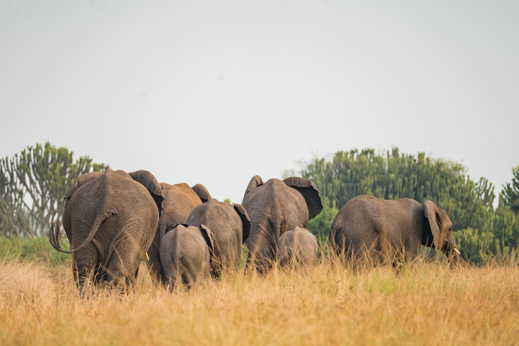 troupeau d'éléphant dans le parc queen elisabeth en ouganda
