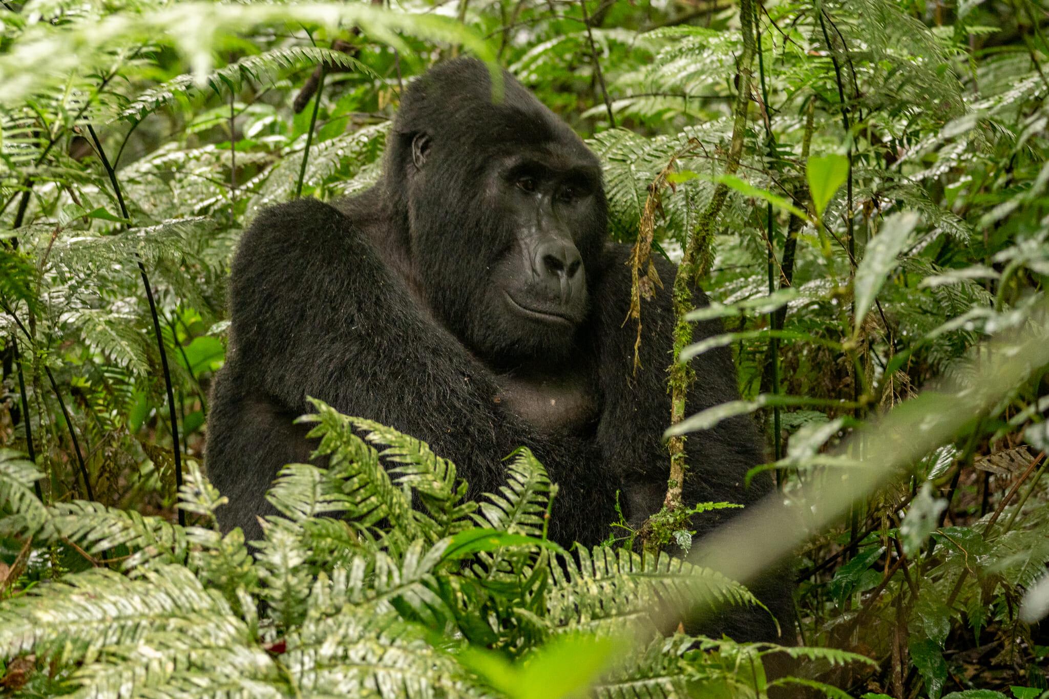 Gorille dans la foret de bwindi en ouganda