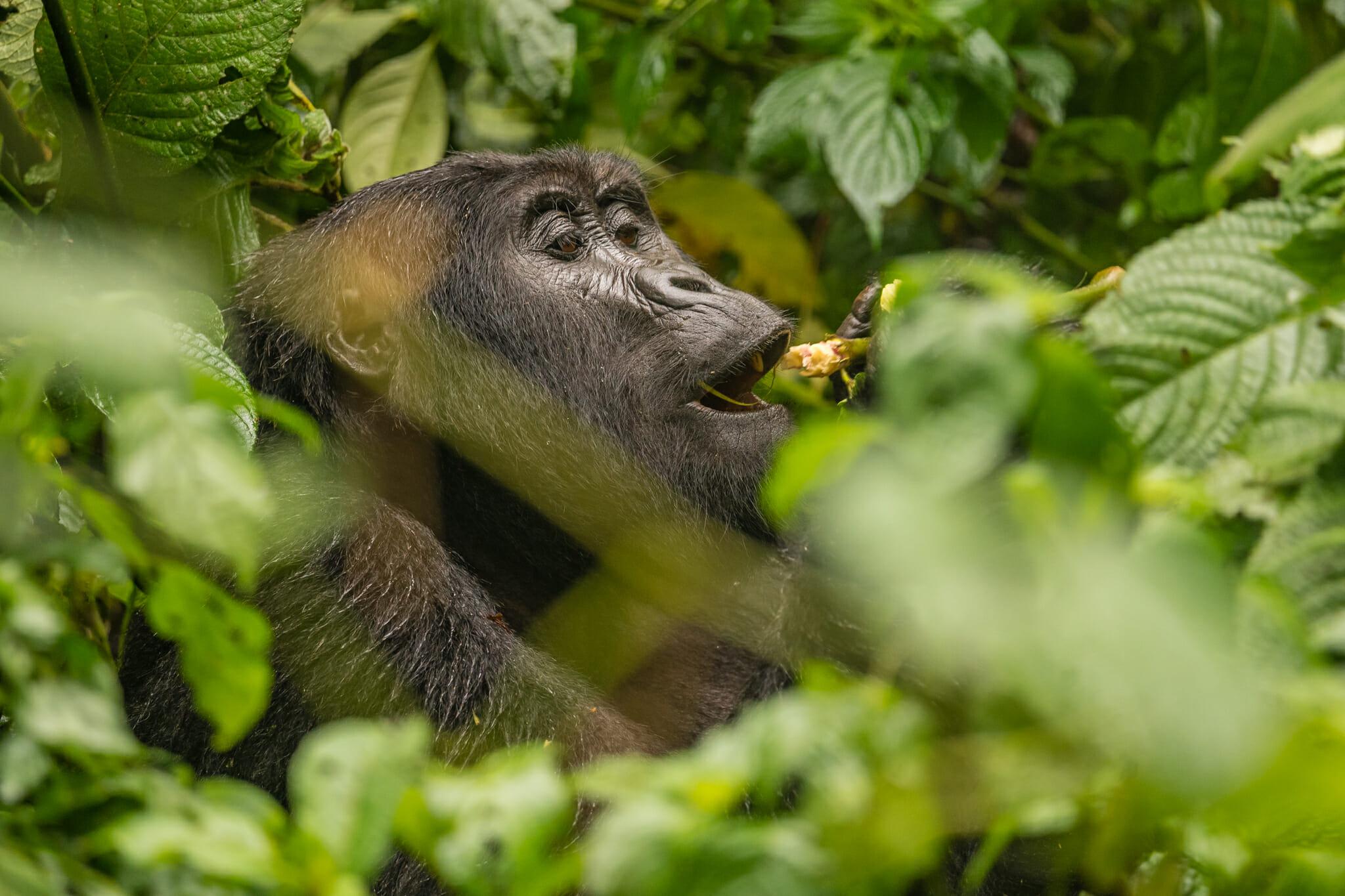 Observation d'un gorille en train de se nourrir dans la forêt de bwindi en ouganda