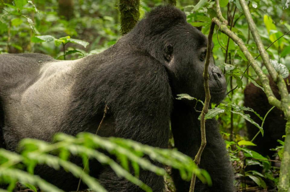 Rencontre avec les derniers grands gorilles des montagnes en Ouganda