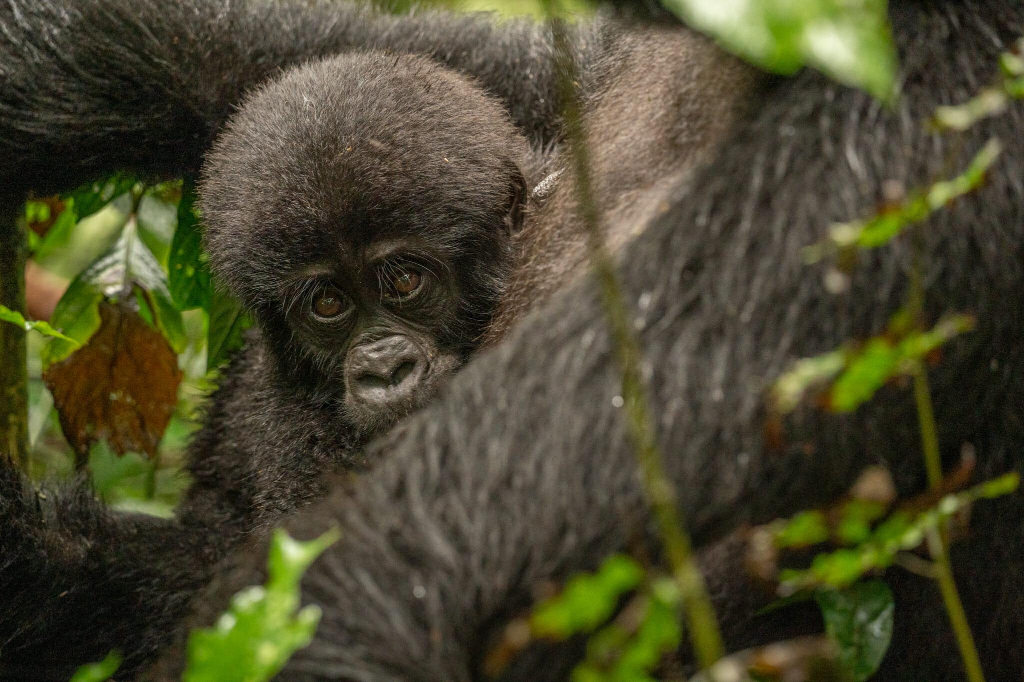 bébé gorille avec sa maman en plein coeur de la foret de bwindi en ouganda