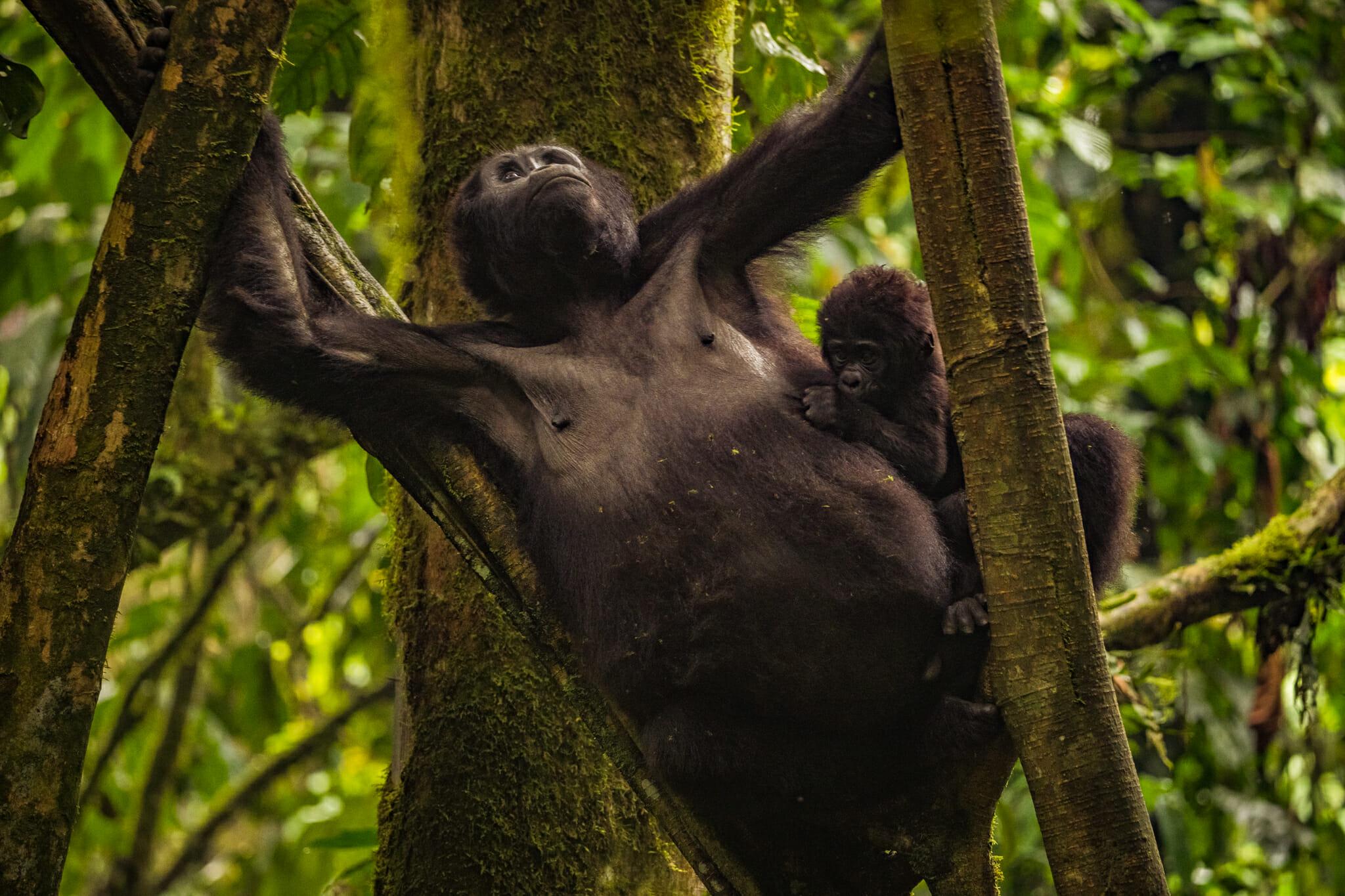 Une maman gorille et son petit dans la forêt de bwindi en ouganda