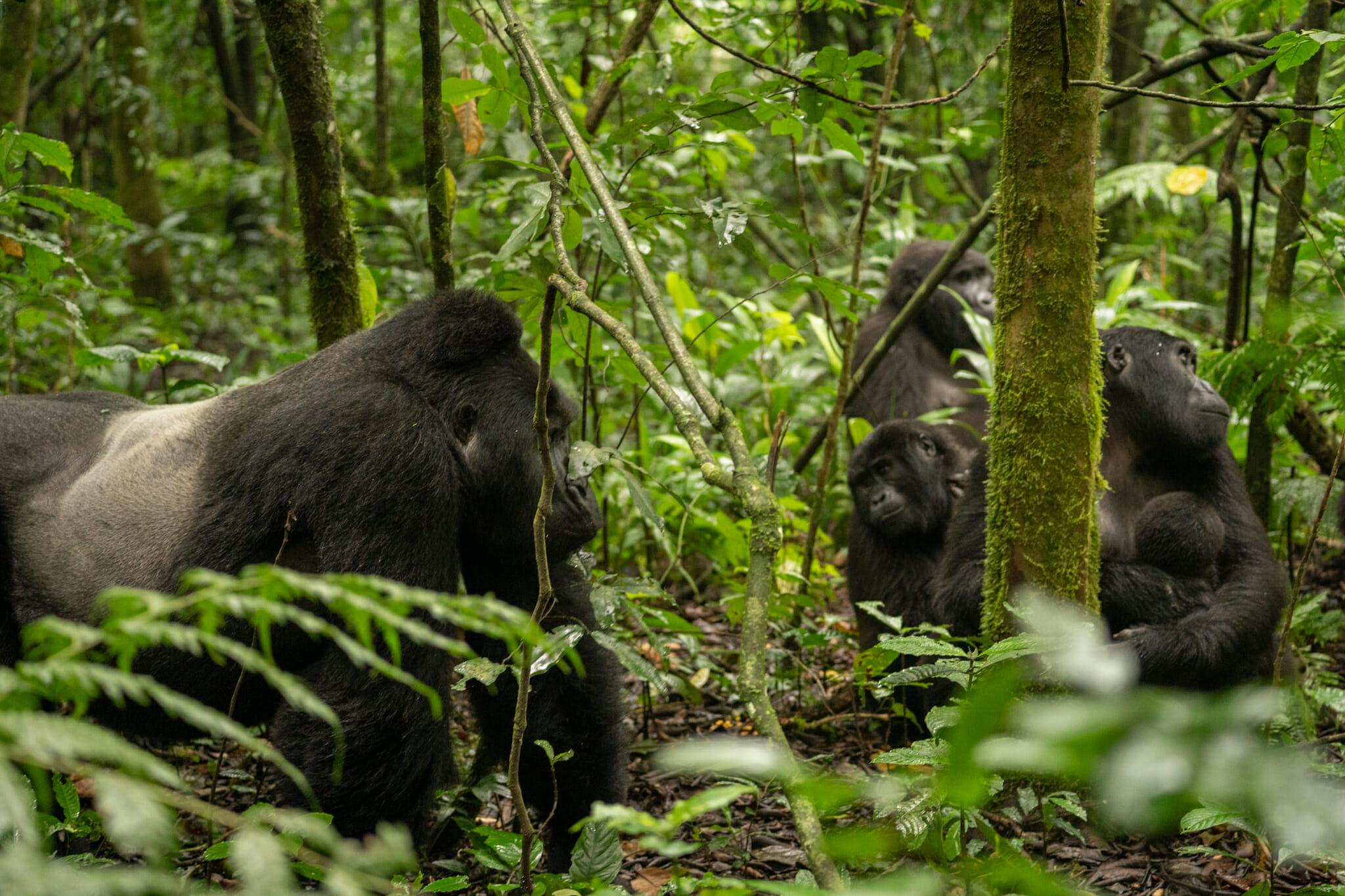Un gorille et sa famille au coeur de la foret de bwindi en ouganda