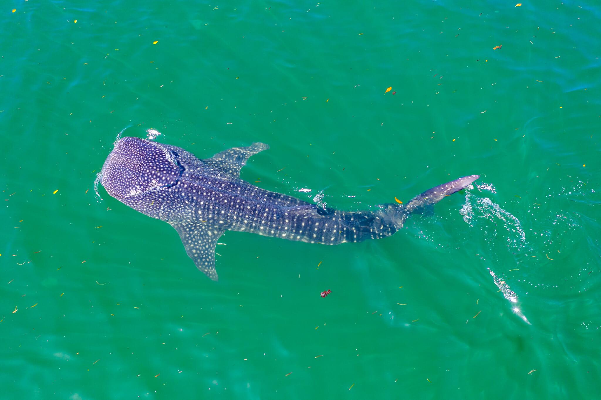 observation d'un requin baleine à mafia island